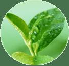 SkinTight Ingredients - Green Tea Extract