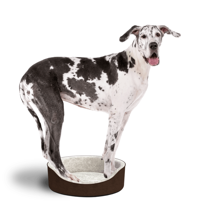 Black and white great dane